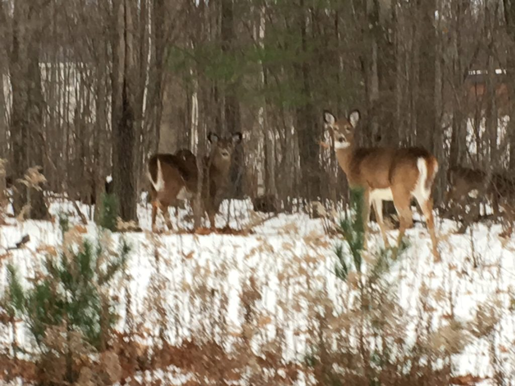 O Deer Herd of six (or more) deer in the Pine Cobble neighborhood; photo by
